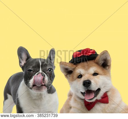 cute french bulldog dog licking nose next to an elegant akita inu dog wearing bowtie and hat happy on yellow background