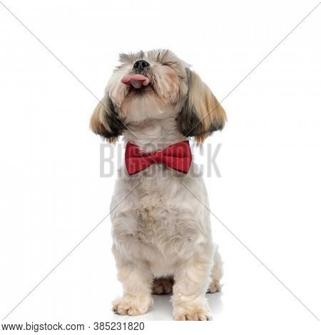 Smiling Shih Tzu puppy panting with eyes closed, wearing bowtie while sitting on white studio background