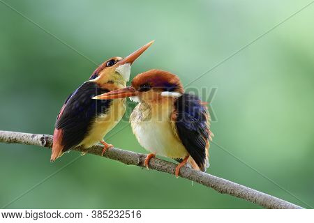 Lovely Beautiful Pair Of Orange And Black Wings  Of Oriental Dwarf Or Black-backed Kingfishers Teasi