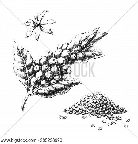 Coffee Plant Hand-drawn Black And White Illustration. Jpeg Only
