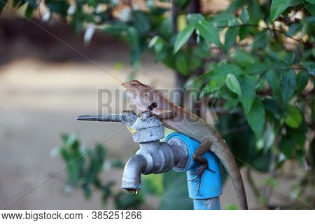 Thai Chameleon On The Faucet And Background Nature Green Leaves. It Is A Small Old World Lizard With