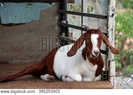Brown And White Color Of Goat Laying Down And Eating The Grass In The Mouth. It Is A Hardy Domestica