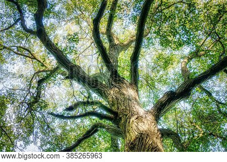 The Trunk Of Old Linden Tree. Lower Angle Of Linden Tree Foliage In Sunlight