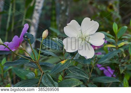 A White Flower Of Tibouchina Mutabilis (manacá-da-serra), In Nature, Showing Signs Of Insect Damage.