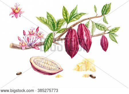 Set Of Botanical Illustration. Watercolor Cocoa Fruit Collection Isolated On White Background. Hand