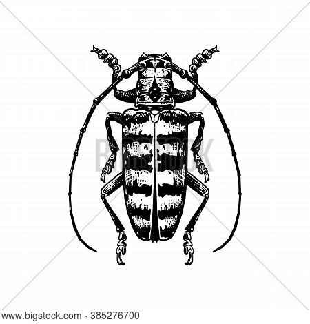 Beetle. Decorative Insect Isolated On White Background. Black And White Sketch. Realistic Drawing Of