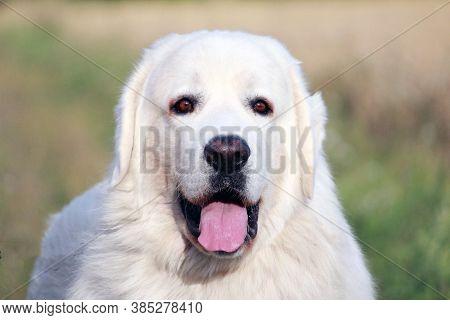 A Portrait Of Polish Tatra Shepherd Dog.