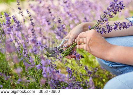 gardening, nature and people concept - young woman with pruner cutting and picking lavender flowers at summer garden
