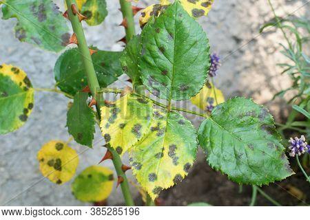 Diplocarpon Rosae, Rose Black Spot Disease, Affected Leaf