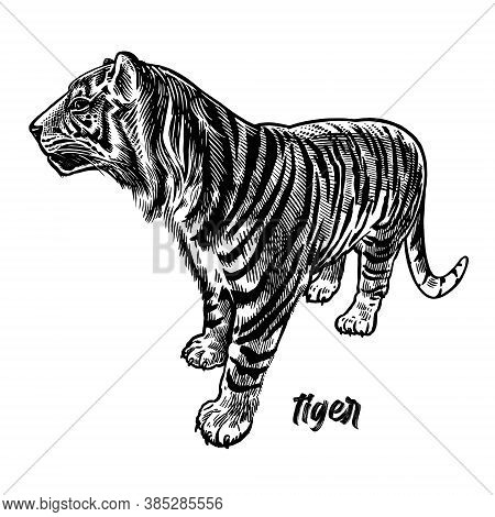 Tiger. Animals Of Africa Series. Vintage Engraving Style. Vector Art Illustration. Black Graphic Iso