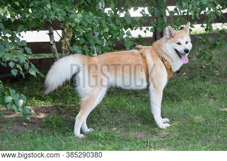Cute Akita Inu Puppy Is Standing On A Green Grass In The Summer Park. Pet Animals.