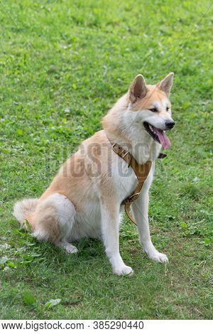 Cute Akita Inu Puppy Is Sitting On A Green Grass In The Summer Park. Pet Animals.
