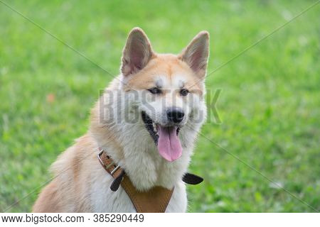 Portrait Of Cute Akita Inu Puppy In The Summer Park. Pet Animals.