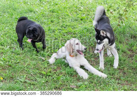 Cute Afghan Hound Puppy, Chinese Pug Puppy And Siberian Husky Puppy Are Playing In The Summer Park.