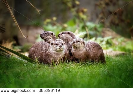 A group of Asian small-clawed otters, aonyx cinerea, huddled together. These semiaquatic mammels are considered vulnerable in the wild. Horizontal format.