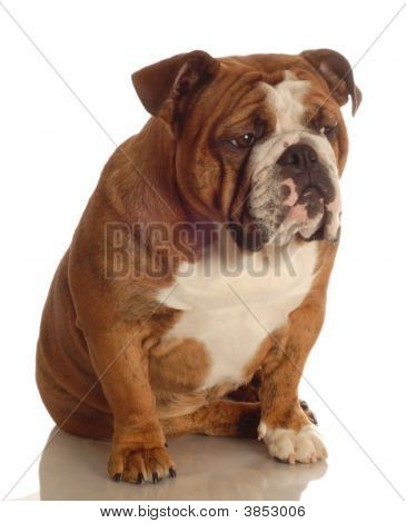 red brindle english bulldog sitting isolated on white background poster