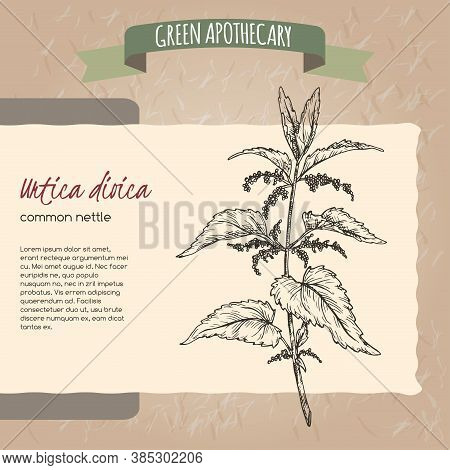 Urtica Dioica Aka Common Nettle Sketch On Vintage Paper Background. Green Apothecary Series.
