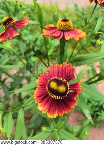 Three Blooming Helenium Perennial Flowers On A Blurred Green Background,cloudly
