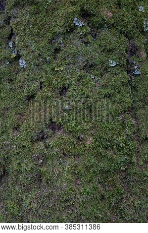 Beautiful Bright Green Moss Growing On A Tree Bark Moss Texture In Nature For Wallpaper. Close-up. G