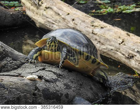 Yellow-bellied Slider Sunning Itself On A Log In Florda