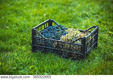 Grape Harvest. Bunches Of Dark And Light Freshly Harvested Grapes Are Collected In A Box. Container