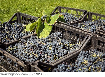 Grape Harvest. Wine Grapes Are Collected In Boxes. Autumn Is The Time Of Grape Harvest And Wine Maki