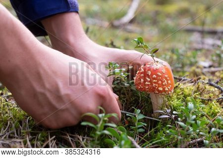 Man Cutting A Fly Agaric By Mistake At The Forest.