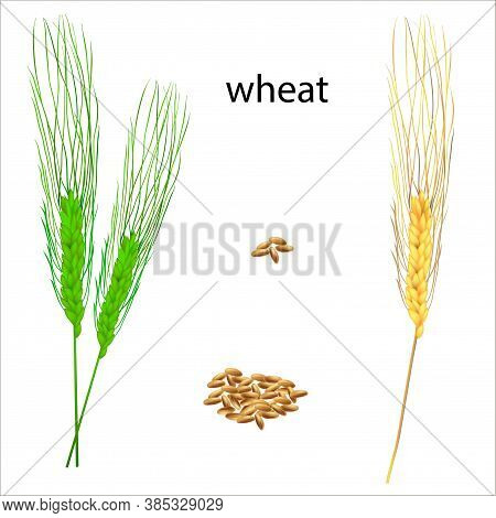 Realistic Vector Illustration Of Ripe And Green Ears. Isolated Image Of Wheat Grains. Drawing Of Edi