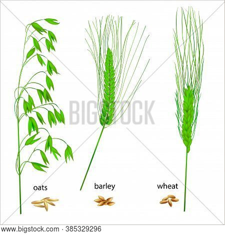 Realistic Vector Illustration Of Green Ears. Isolated Image Of Oat, Wheat And Barley Grains. Drawing