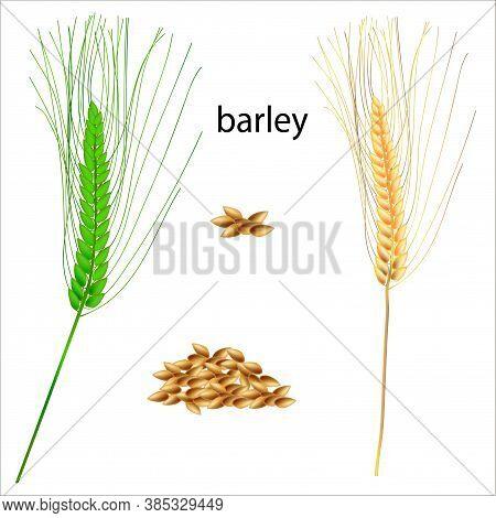 Realistic Vector Illustration Of Barley Ears. Isolated Image Of Barley Grains. Drawing Of Edible Pla