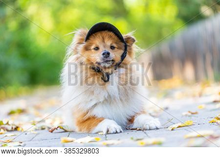 A Close Up Of A Cute Shetland Sheepdog With A Black Cappy