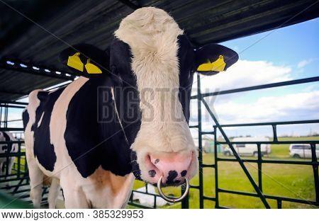 Raising Cows For Milk Production On An Industrial Farm. Industrial Farming Farm . Animal Husbandry A
