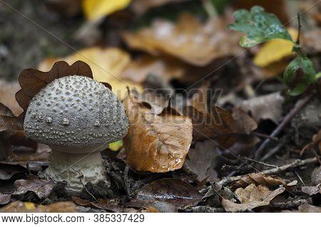The Grey Spotted Amanita (amanita Excelsa) - Edible