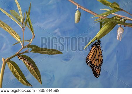 Monarch Trinity, Danaus plexippuson, Caterpillar, Chrysalis, and newly emerged Butterfly con swamp milkweed blue background