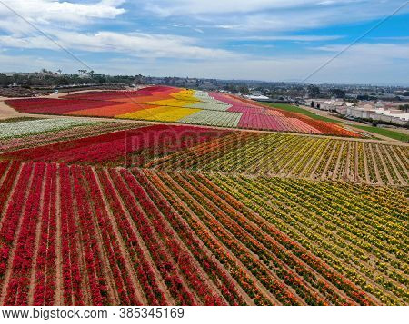 Aerial View Of Carlsbad Flower Fields. Tourist Can Enjoy Hillsides Of Colorful Giant Ranunculus Flow