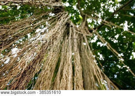 Extensive, Hanging Banyan Tree Roots. Looking Up At A Banyan Tree, Foreground Roots Are In Focus, Ba