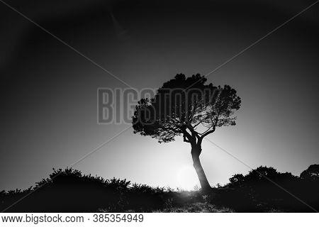 Lone Pine Standing On Ridge Backlit By Rising Sun Monochrome Effect With Sun Burst Just Above Ridge