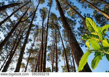 Towering High Overhead Plantation Pine Trees Converge Skyward With Focus On Bright Green Coprosma Le