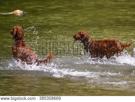 Adorable Irish Setters Playing In The Water And Enjoying The Warm Weather. Lots Of Water Splashing A