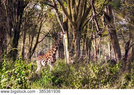 Kenia. African savannah on the shores of Lake Nakuru. Travel to the Horn of Africa. The large picturesque giraffe grazes among the thickets of desert acacia.