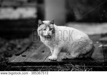 Big the stray cat outdoors. Black and white photography.
