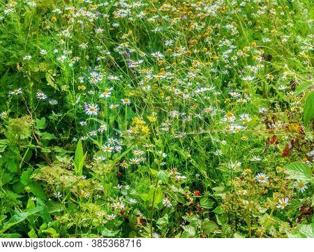 Summer Green Organic Motley Grass With Daisies At Happy Day