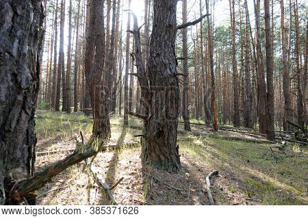 Pine forest trees. Pine thicket on the sunny warm day. Fresh pine air