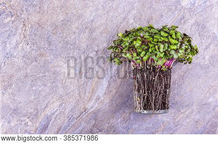 Microgreen Cabbage. Fresh Healthy Microgreens. Young Microgreen Sprouts. Microgreen Background
