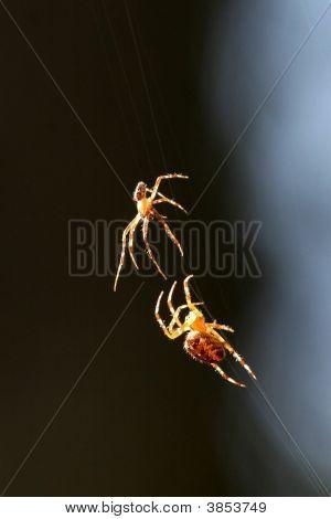 Male  Female Spider