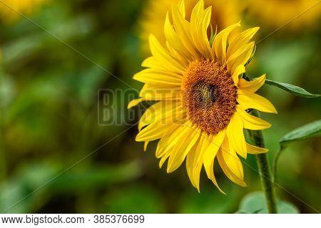Sunflower Field In Sunshine, Bright Vibrant Flower Landscape In Summer Time, Beautiful Sun Flower Bl
