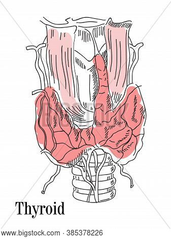 Vector Illustration Of The Thyroid And Trachea. Icon Of The Anatomy Of The Human Body Organs. Medica