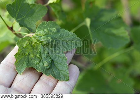 Red And White Currant Leaves With Blisters On Outside, Infected With Currant Aphids