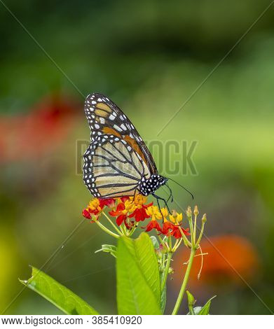 Monarch Butterfly,danaus Plexippus Is A Milkweed Butterfly In The Family Nymphalidae.
