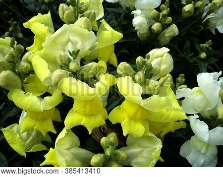 Plant Snapdragon During The Period Of Abundant Flowering. Beautiful Yellow Flowers Of A Fancy Shape.